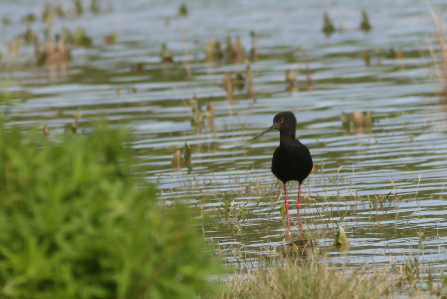 Black Stilt NZ